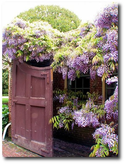 Wisteria- Found on flickr